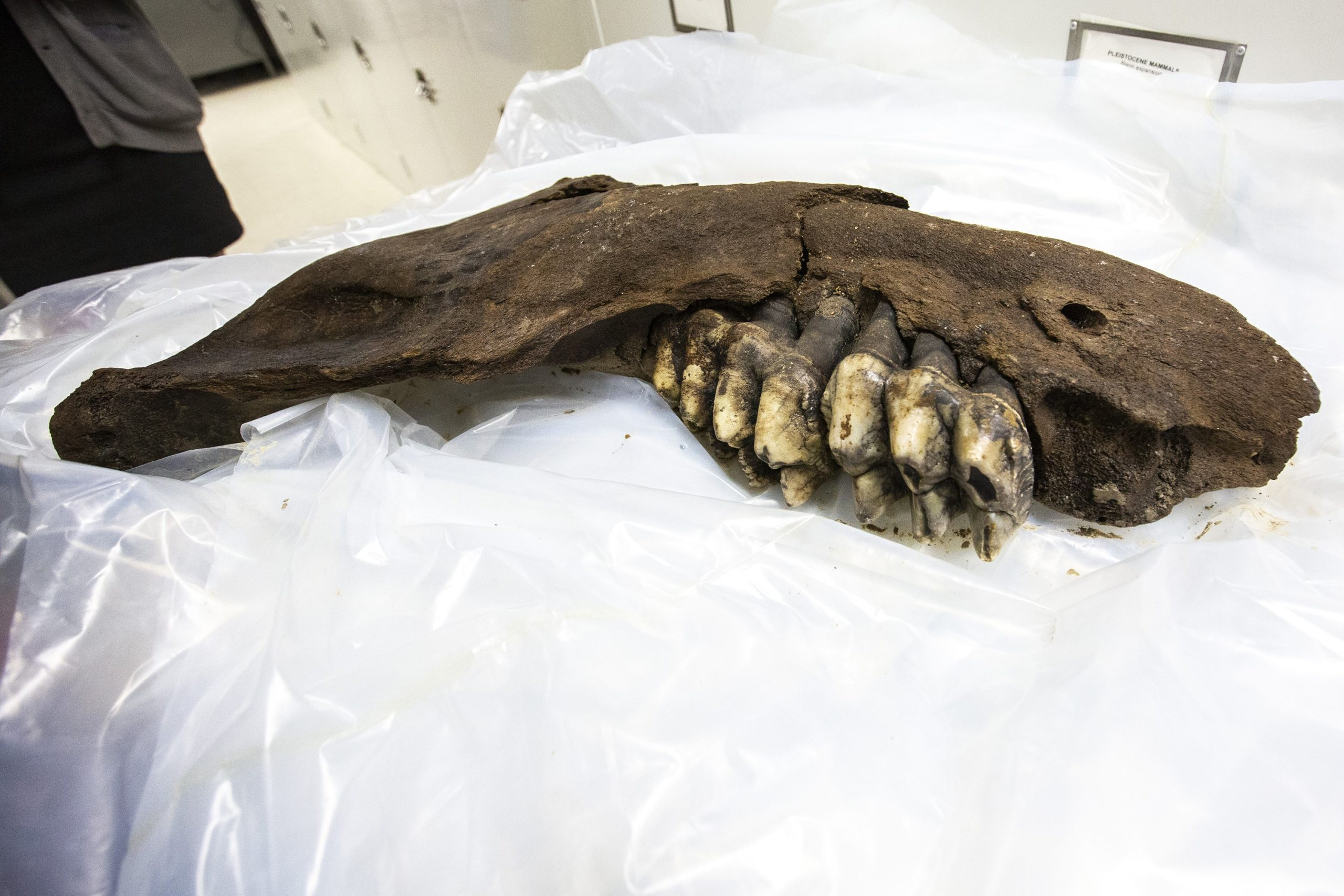 A Lowa adolescent hunting for Arrowheads might discover a mastodon jawbone, 30,000 years old instead.