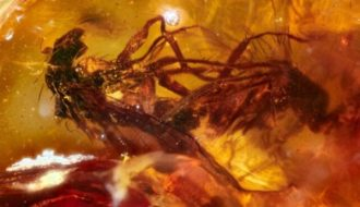 Discovery of Amber Fossil Reveals Two Caught Flies Dying 41 Million Years Ago during Mating